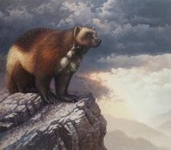 Wolverine, Gulo gulo, Mustelidae