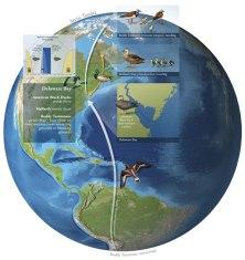 Avian disease spread, Digital