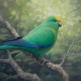 """Malherbe's or """"Orange-Fronted Parakeet"""""""