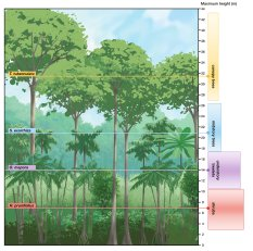 Showing statistical height zones that tropical trees tend to.