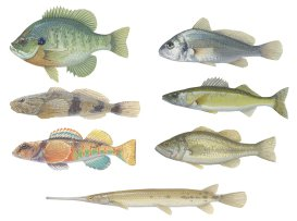 Gouache paintings of fishes.